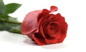 внезапная одна красная роза