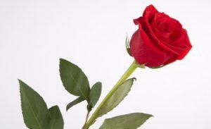 первоклассная одна красная роза